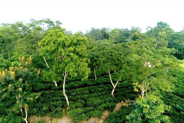 Planting of Tea in Undulating Hilly Areas